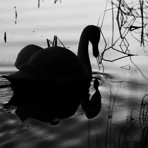swan 3 square